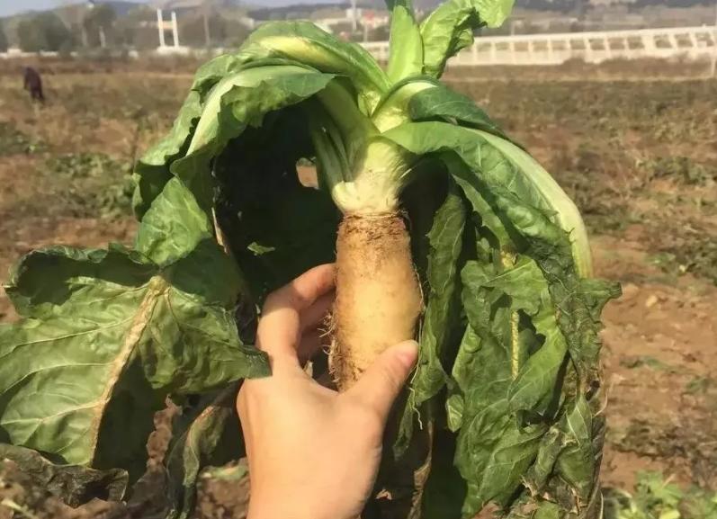菊苣与降尿酸.png